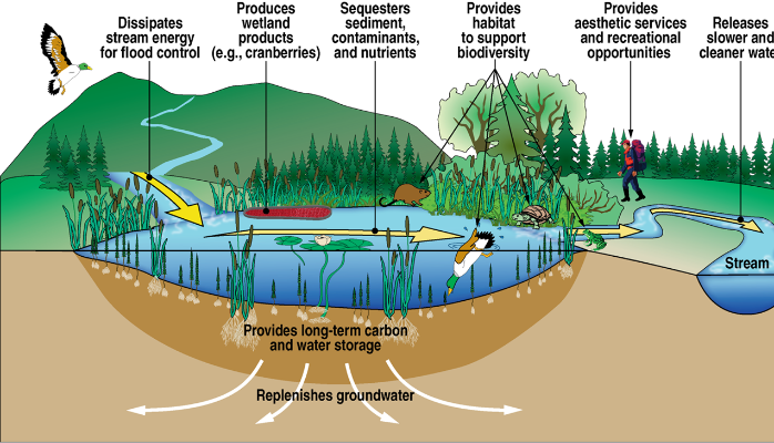 Diagram Ecosystem Wetland Eveegla Detailed Wiring Diagrams